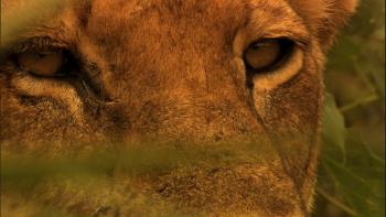 The Last Lions / Ostatnie Lwy (2011) [Napisy PL] m720p.AC3.x264~estres